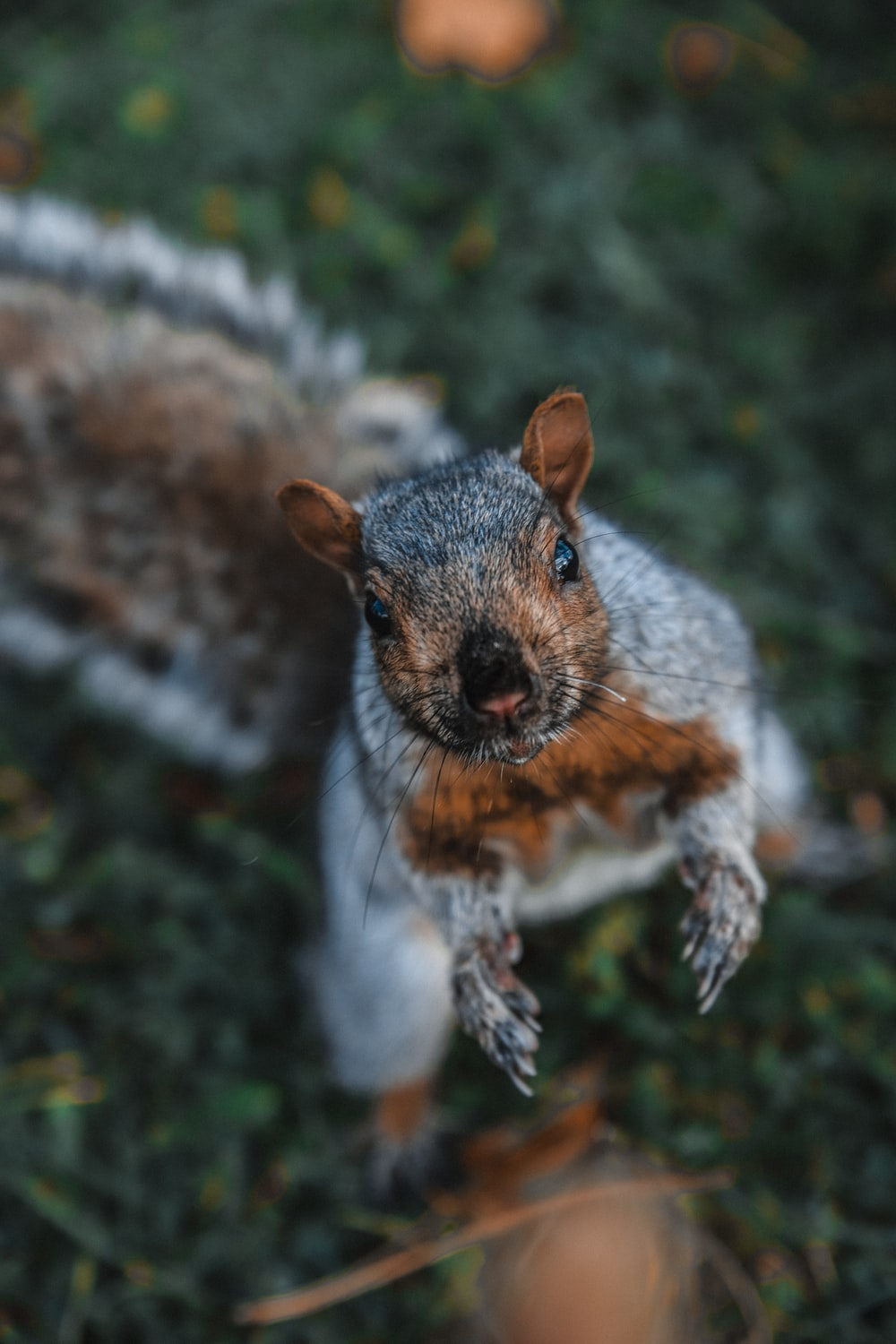 brown and gray squirrel