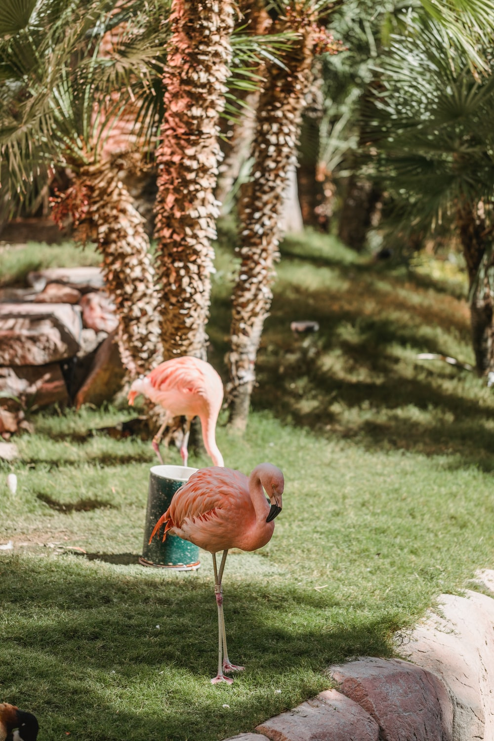 two pink flamingos on green field