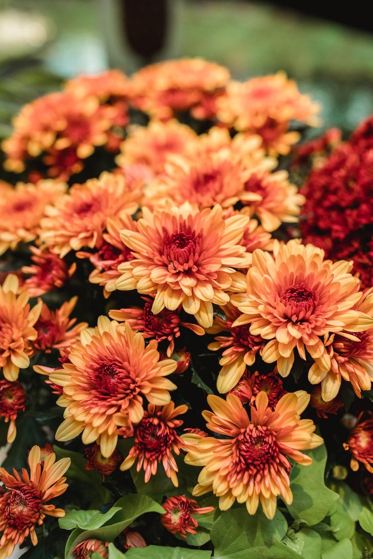 macro photography of orange chrysanthemum flowers