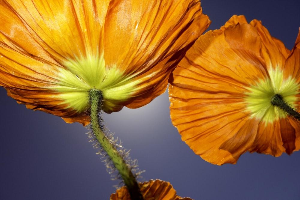 two orange poppy flowers