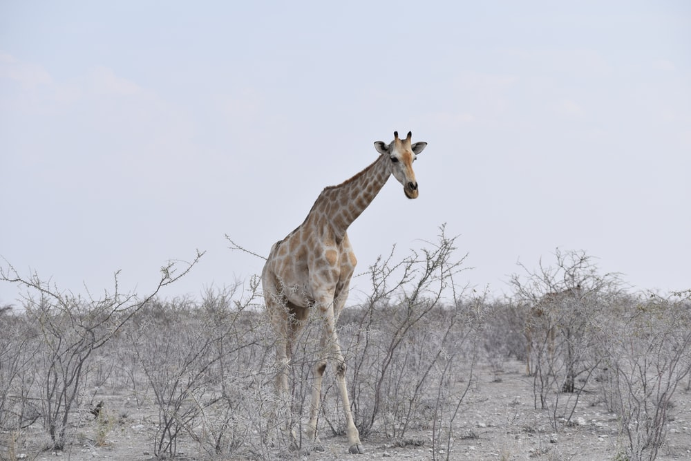 brown giraffe walking near bare plants