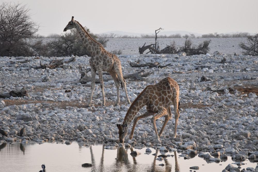 brown giraffe drinking water during daytime