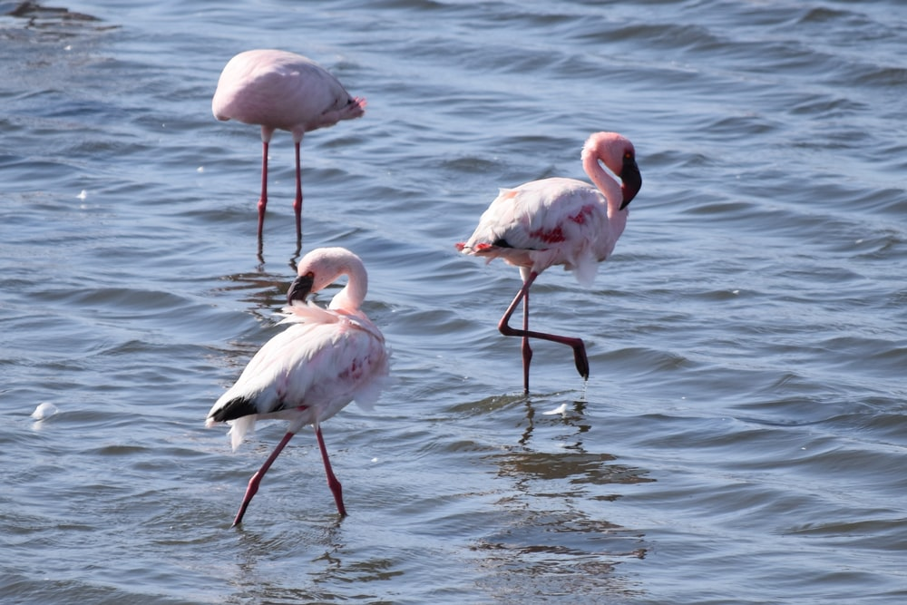 three pink flamingos standing on body of water