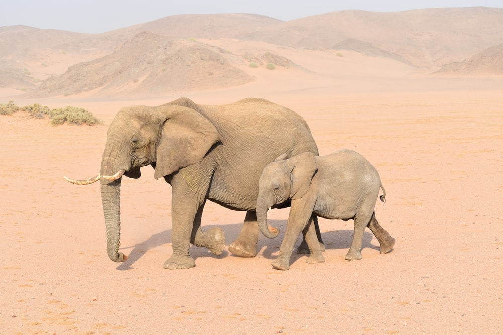 brown adult and young elephants