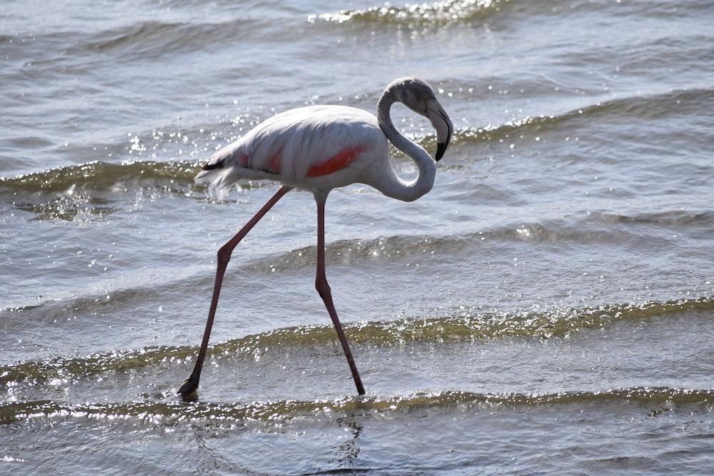 white flamingo bird on body of water