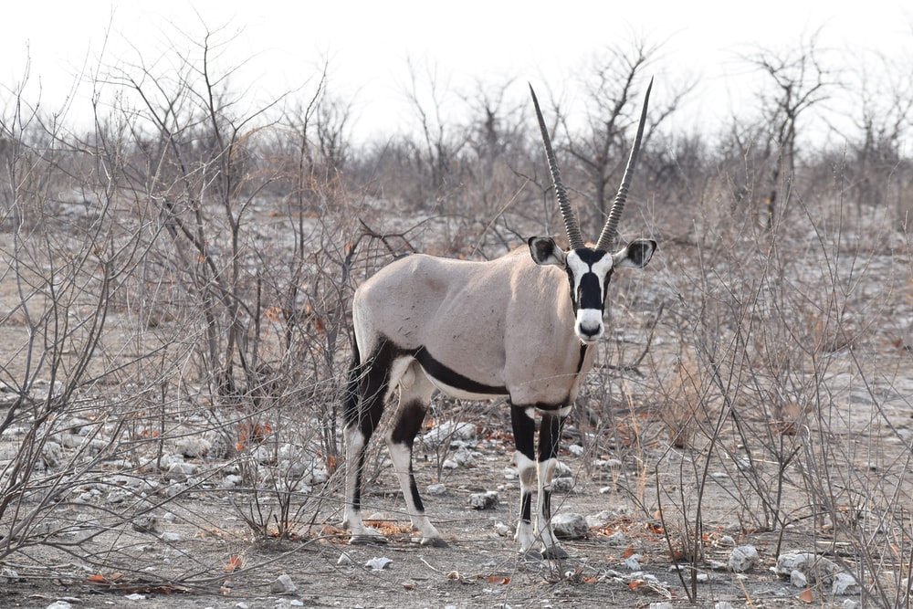 South African oryx