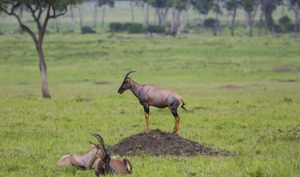 brown-and-black animals on green grass