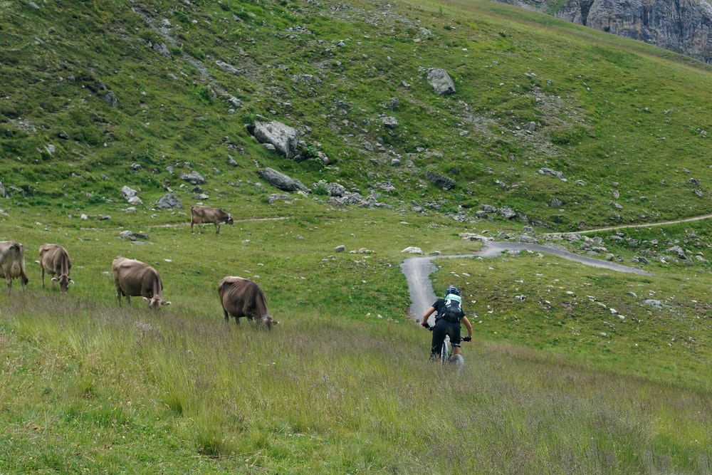 person cycling on green mountain near brown cattles