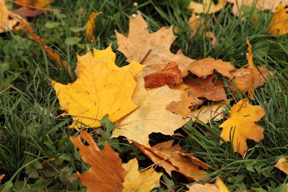 macro photography of yellow and orange maple leaves on green field
