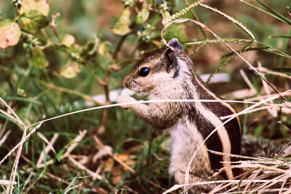 brown squirrel sitting in grass
