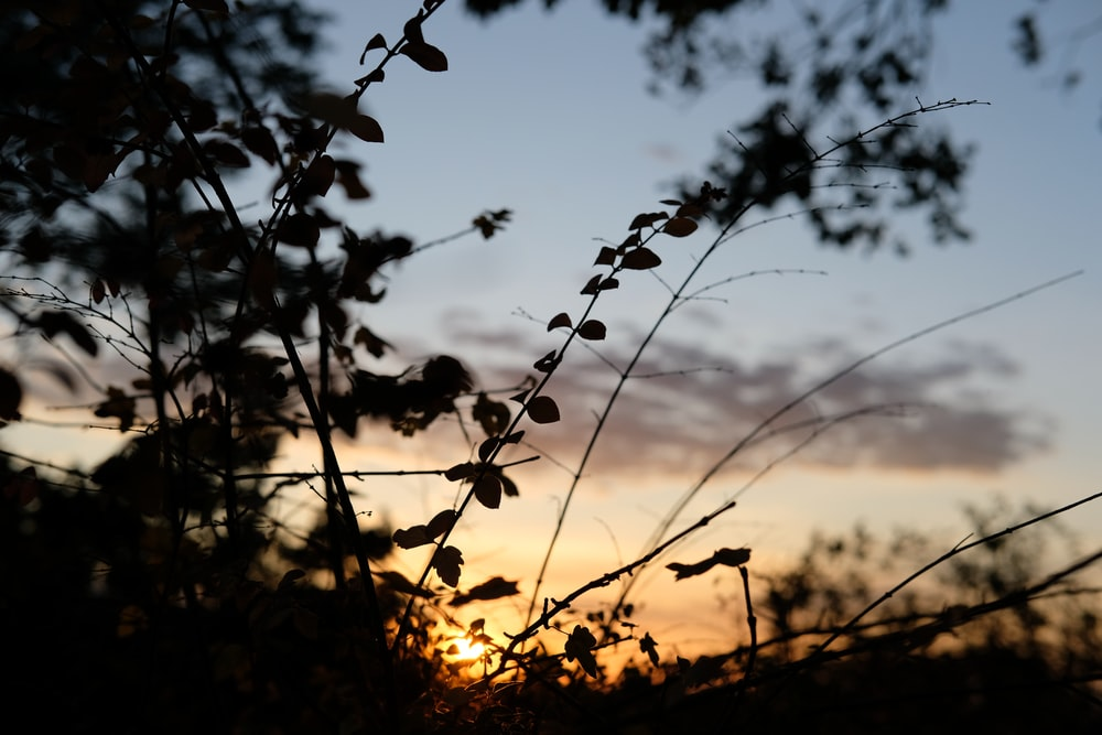 silhouette of plant at sunset