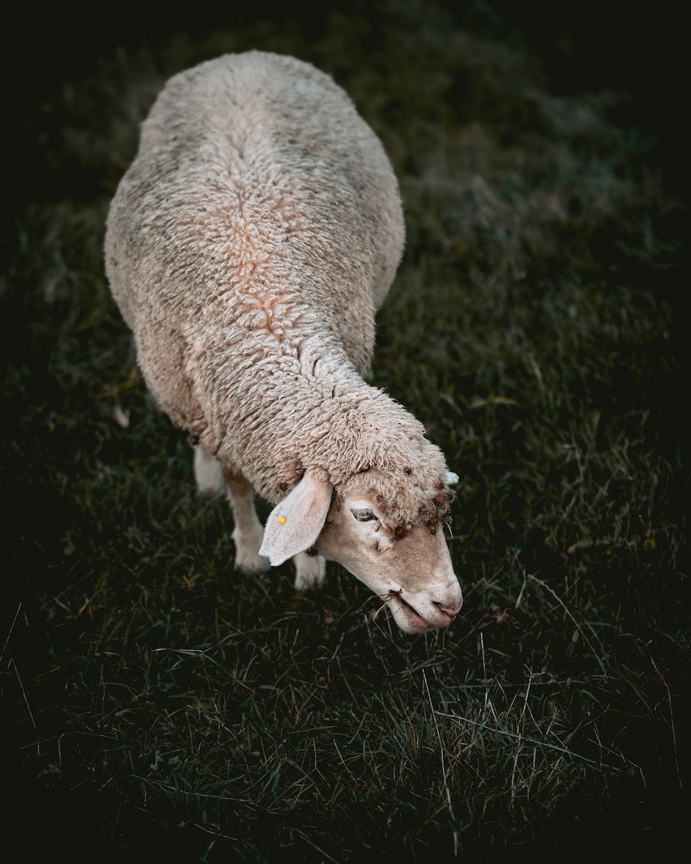 gray sheep eating grass