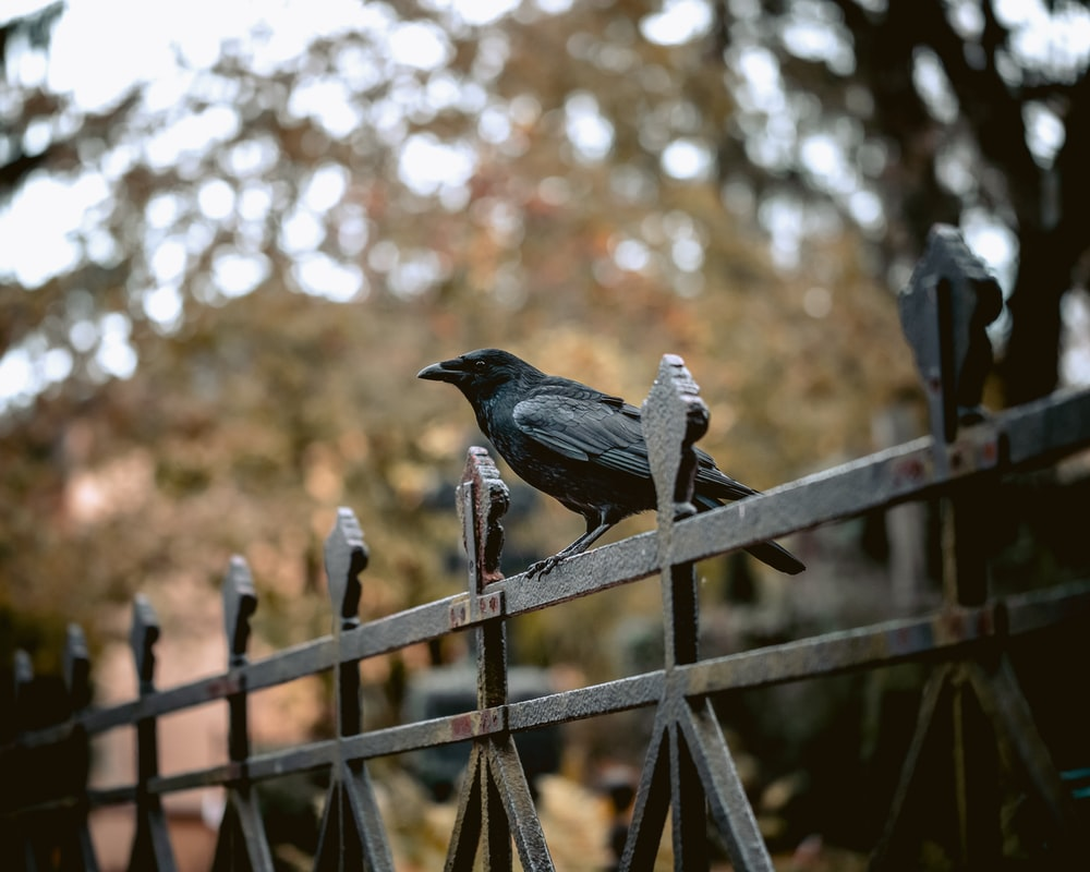 black crow on fench