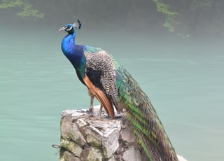 blue, gray, green, and black peafowl on gray stone