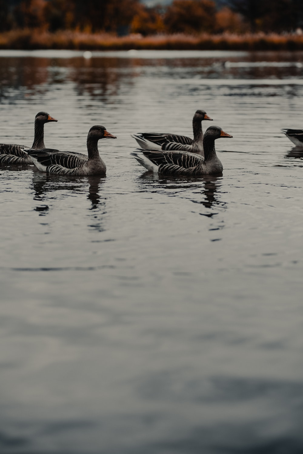 group of gray ducks floating on body of water