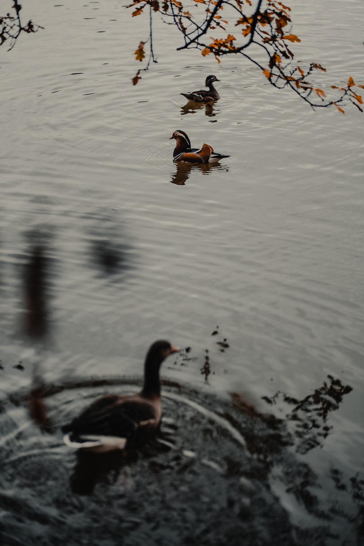 ducks floating on pond