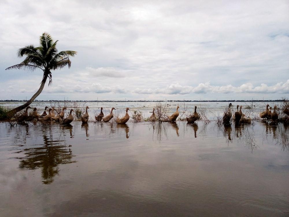 group of white ducks