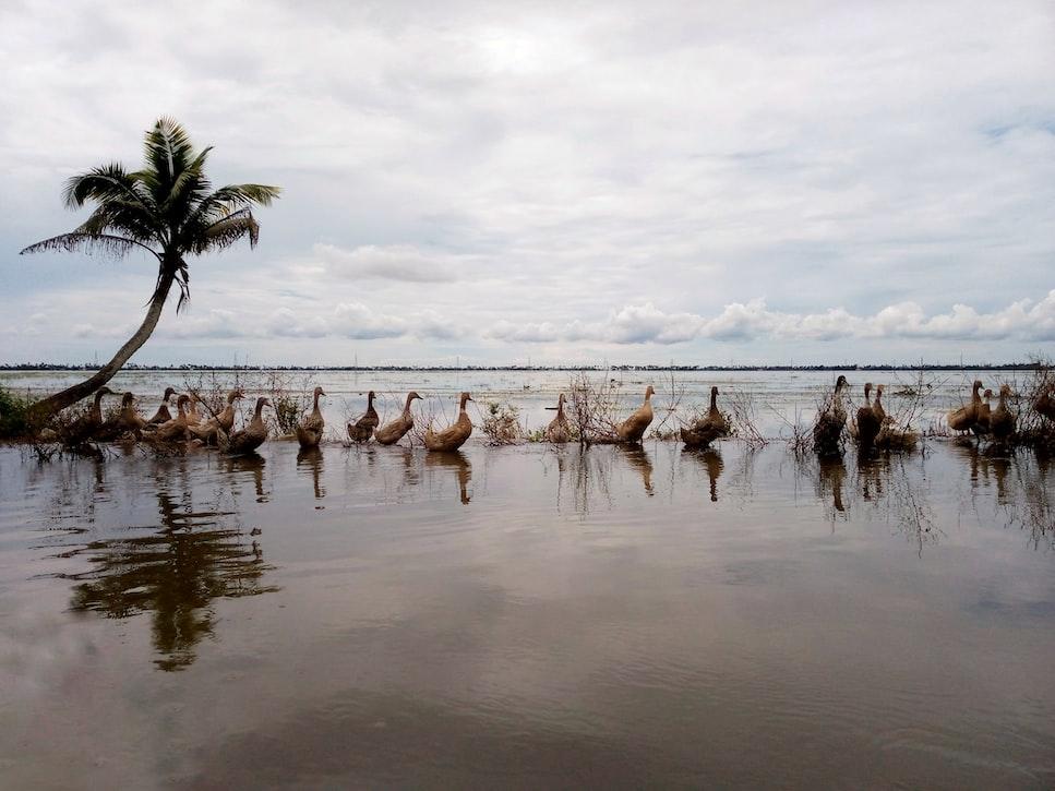 ducks lined up in Kottayam lake, Kerala
