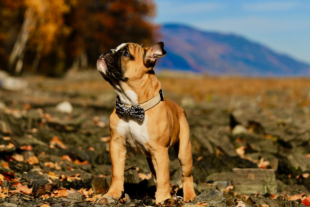 brown smooth coat puppy