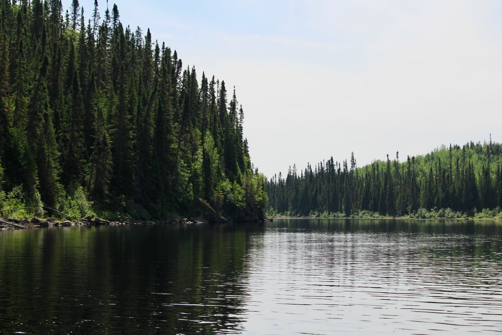 pine trees beside calm body of water