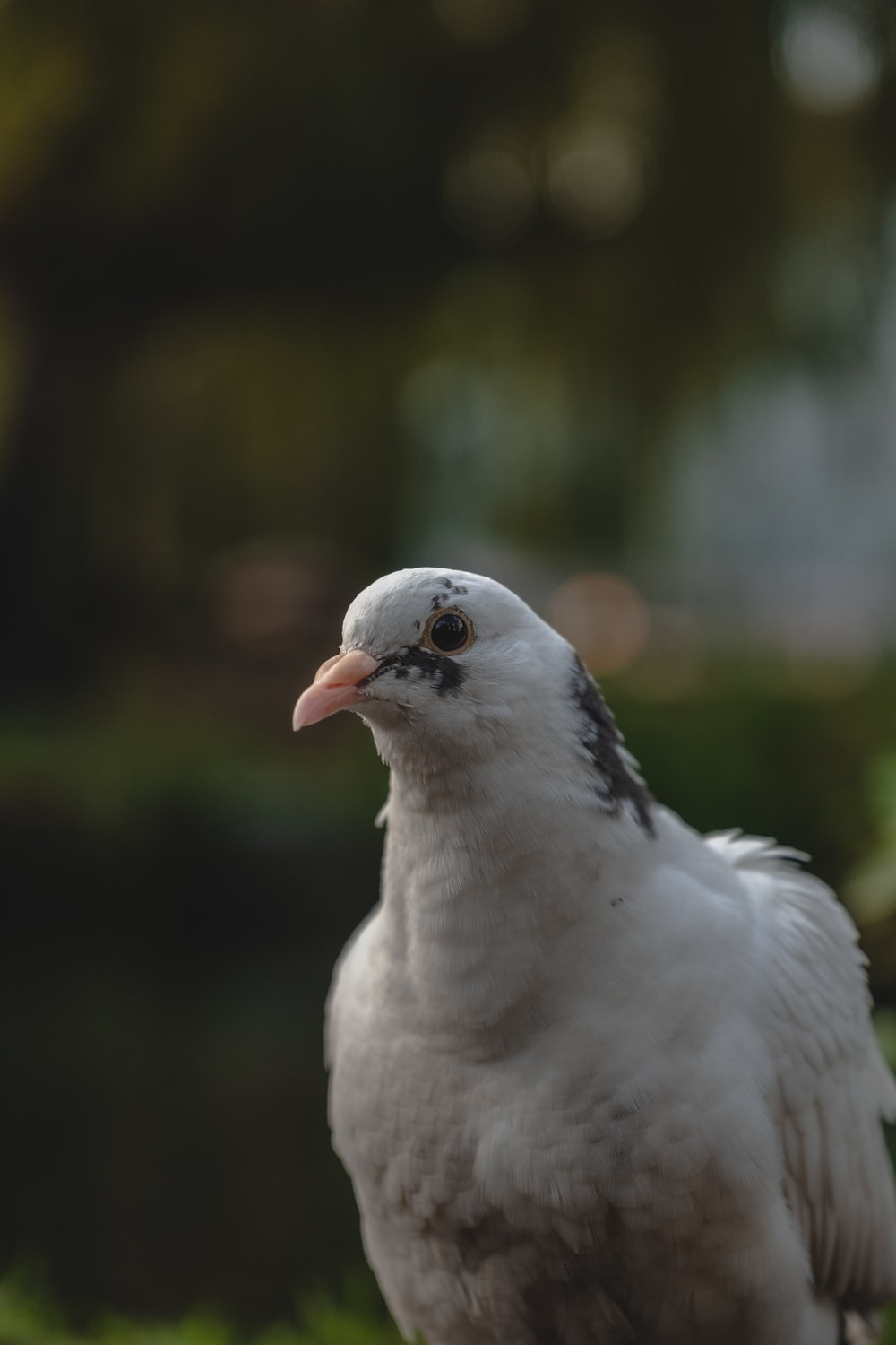 selective focus photography of white and gray pigeon