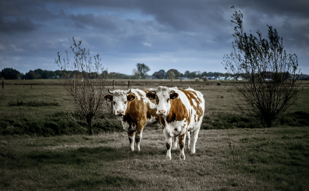 shallow focus photo of white and brown cows