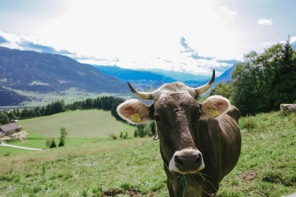 brown cattle walking on field