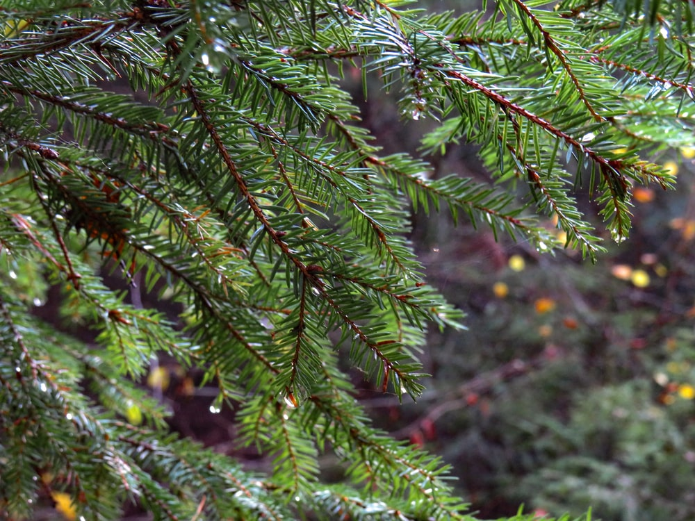 close up photography of green pine trees