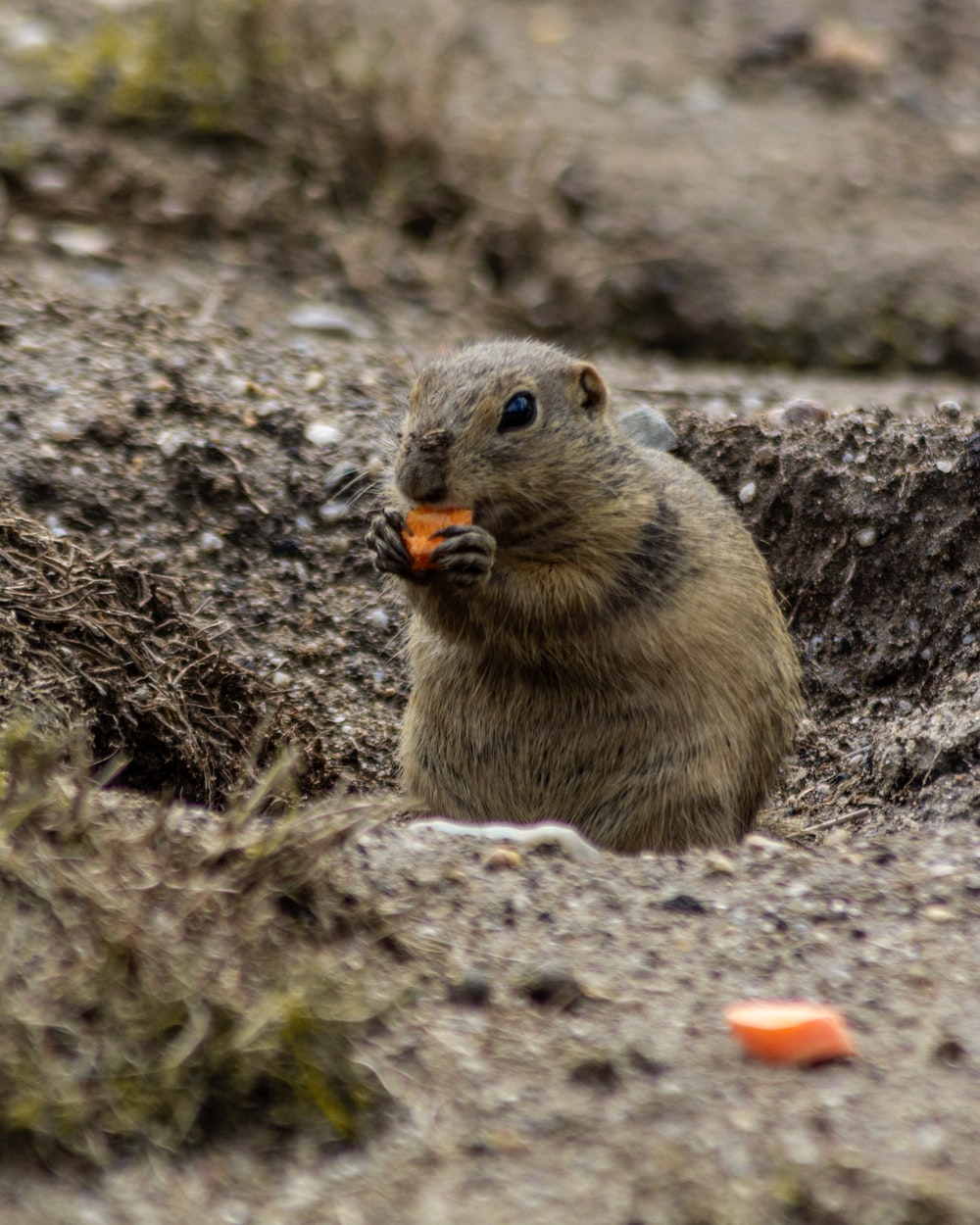 brown rodent eating food