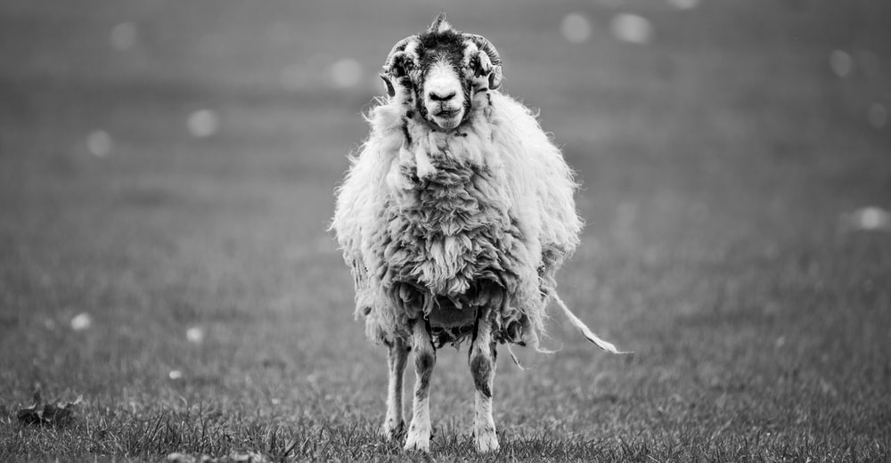 greyscale photography of sheep