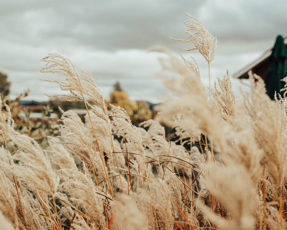 brown tall grass under white clouds