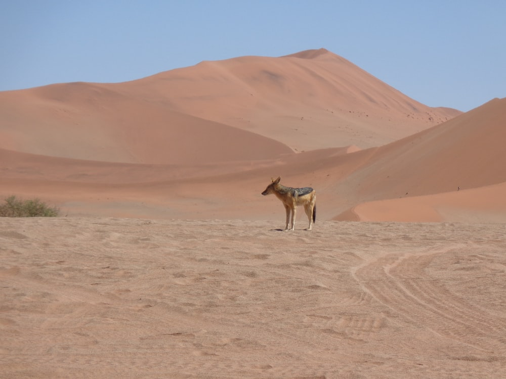 wolf in desert