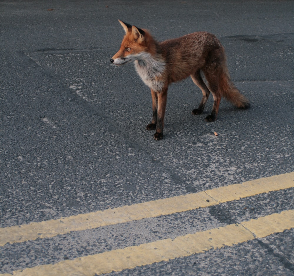 brown fox on asphalt road