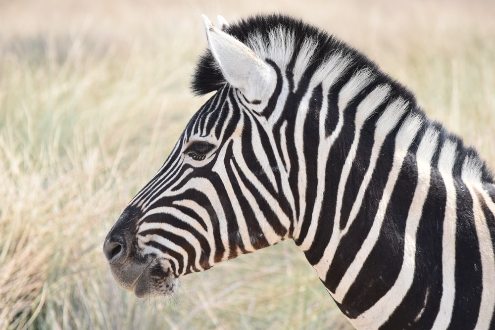 zebra standing on field during daytime
