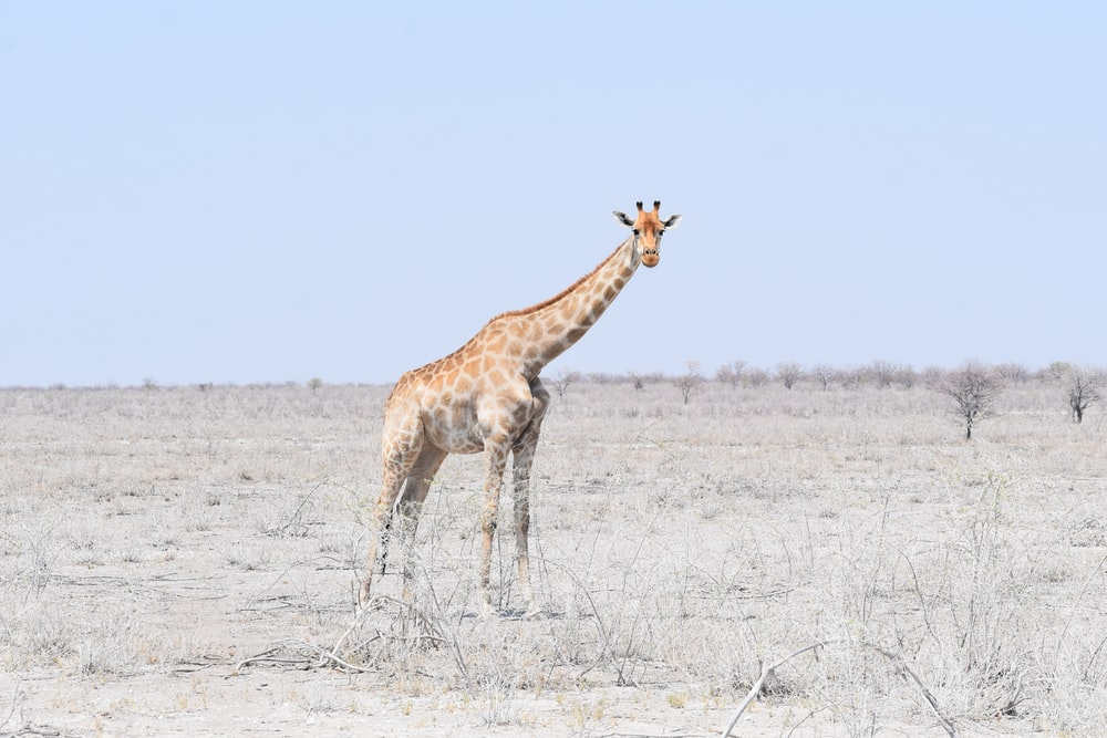 brown giraffe on land during daytime