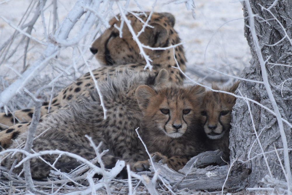 selective focus photography of cheetah lying beside cubs under tree