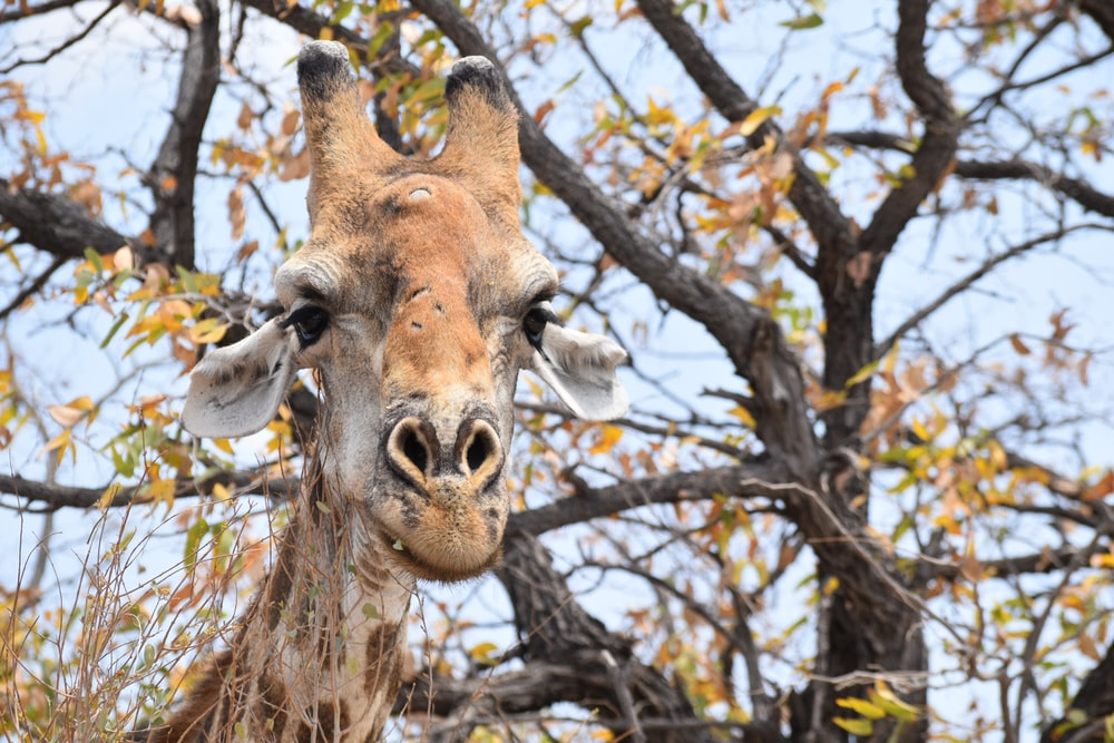 giraffe near tree
