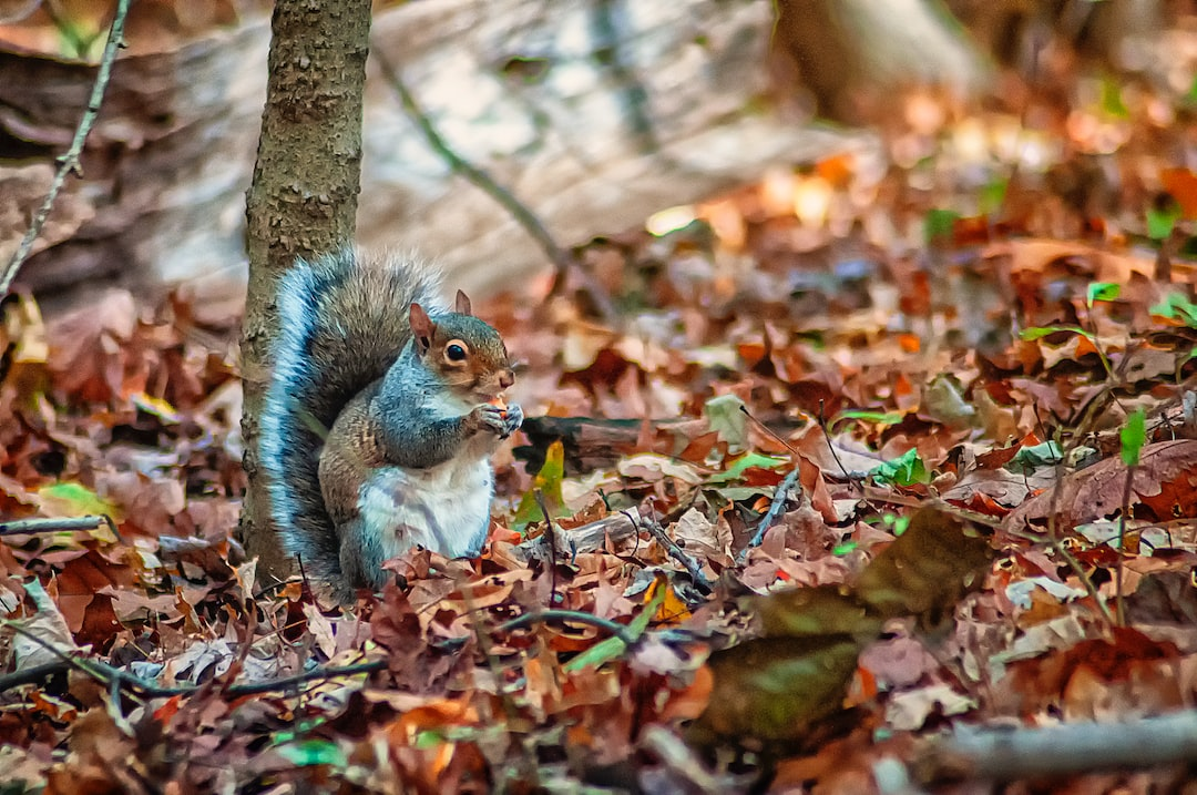 Fall foliage with a Squirrel having Lunch.