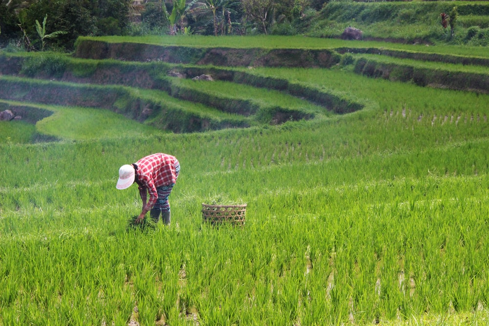 person planting rice on field during daytime