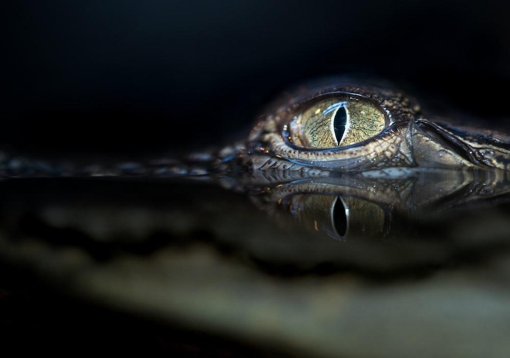 crocodile eyes