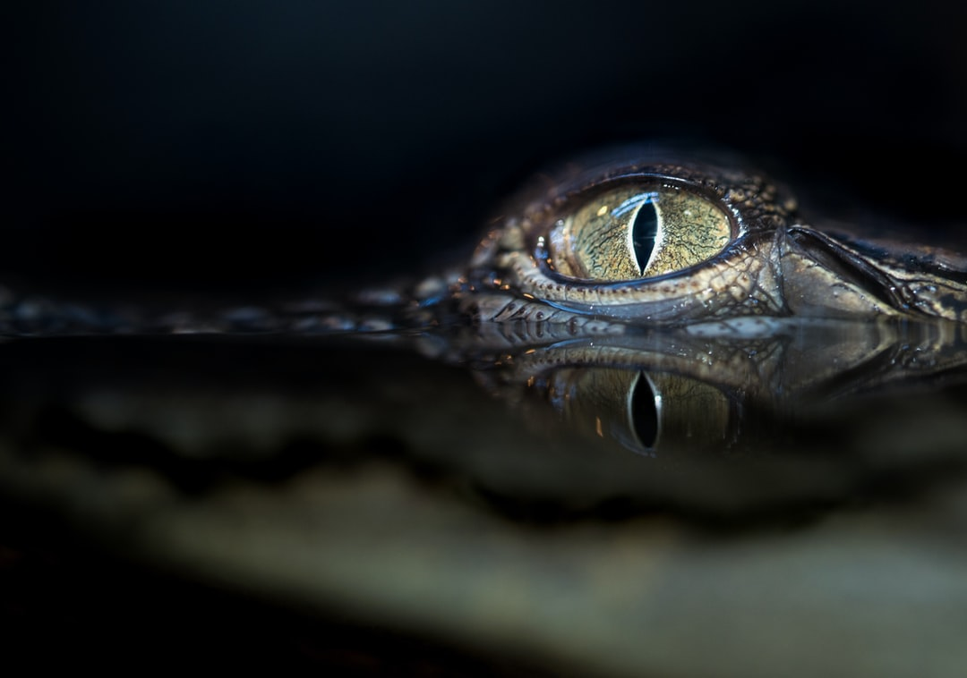 Photo of a young crocodile in water through glass. The eye is above the water, the reflection of the eye is on the surface of the water, and the rest of the head is underwater.