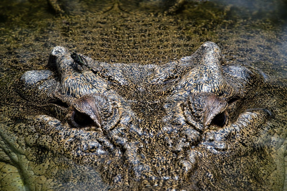 brown crocodile
