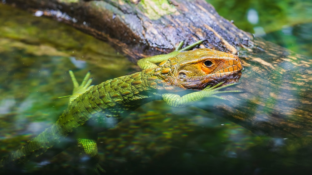 green and brown lizard in water
