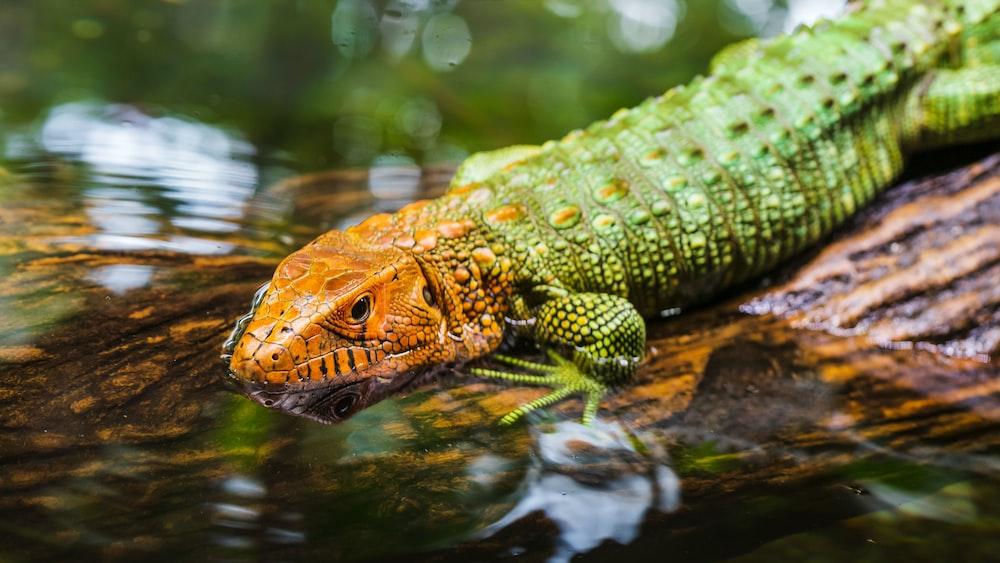 green and orange lizard