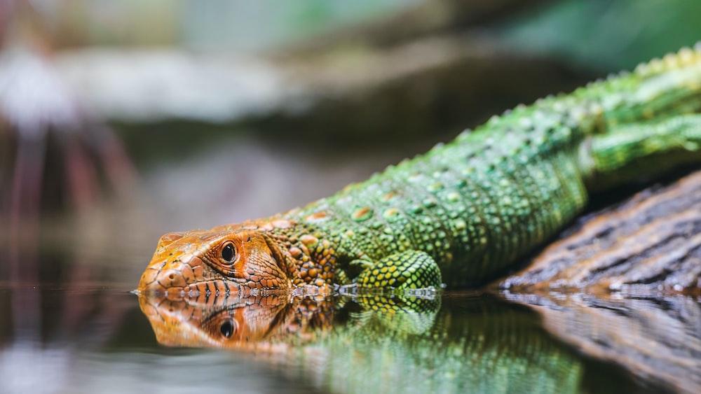selective-focus of green and orange lizard