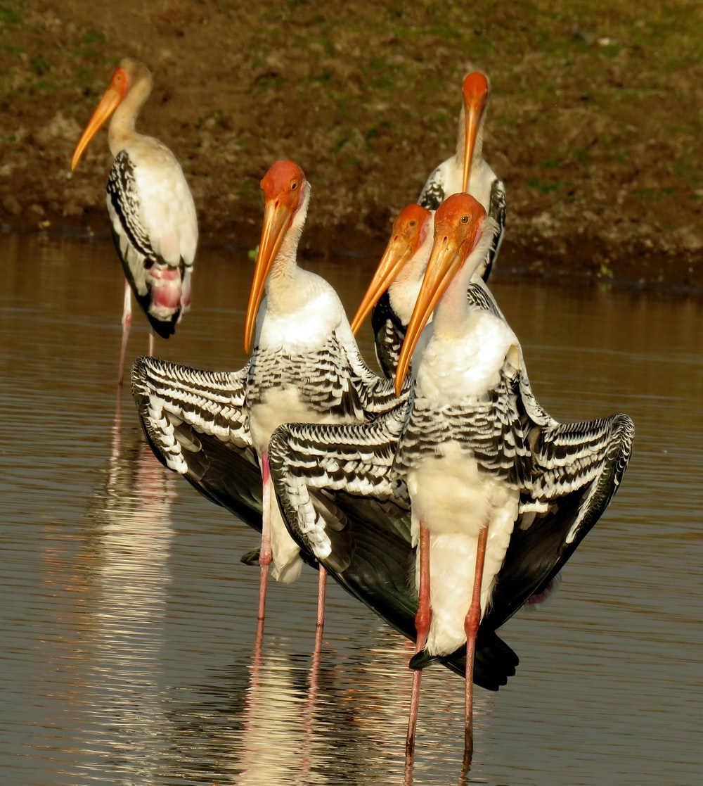 flock of black-white-and-red birds on pond
