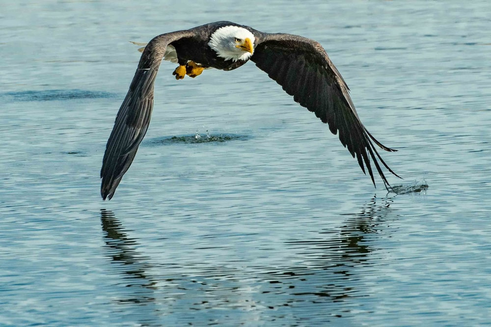 shallow focus photo of bald eagle flying under body of water