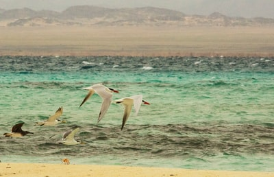 five white birds flying above sea sudan teams background