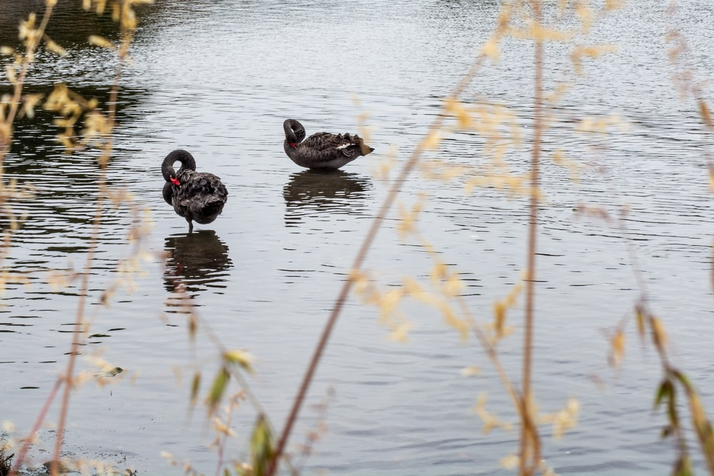 two black swans on body of water