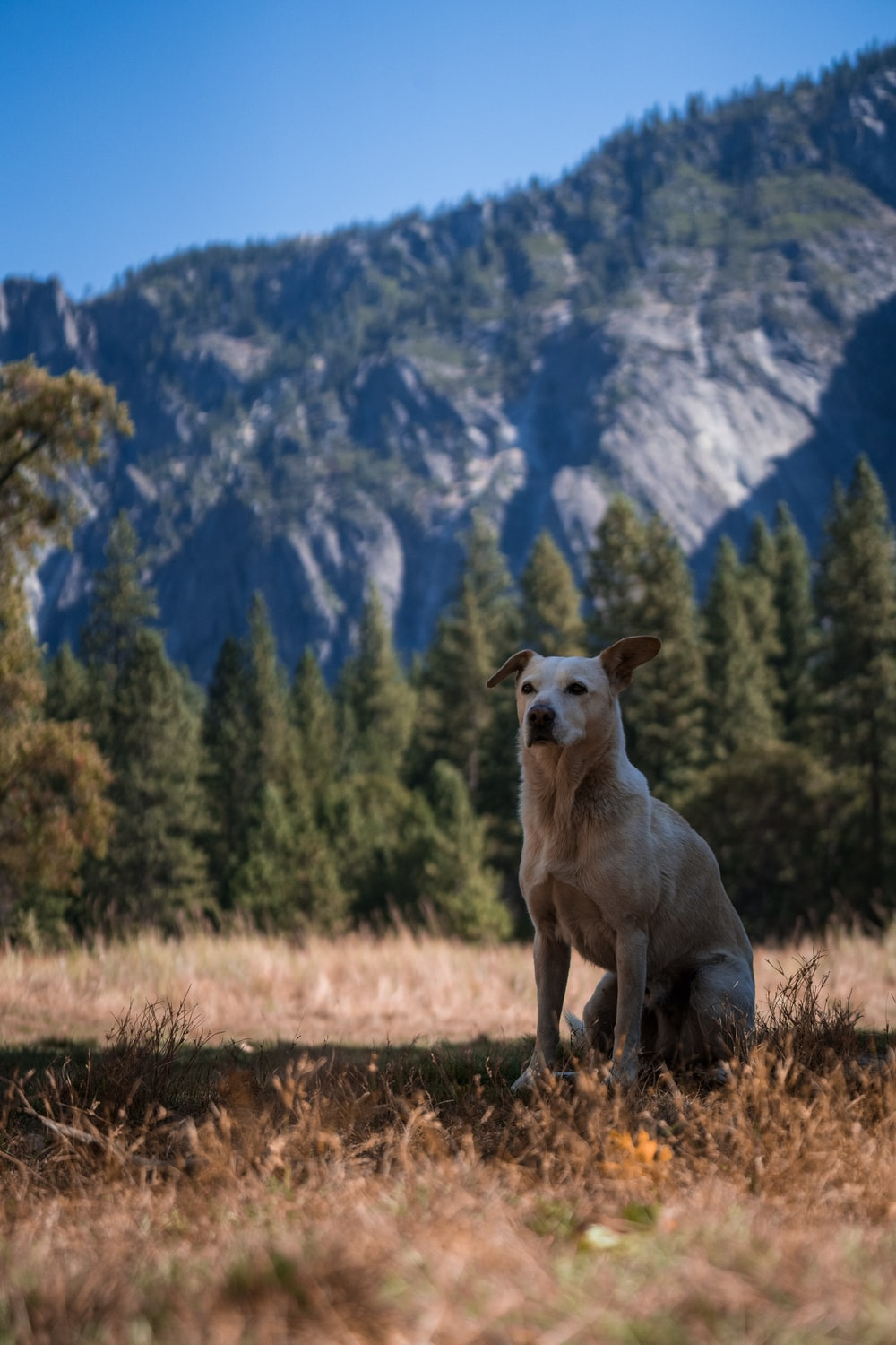 dog sitting on brown grass near trees and mountain